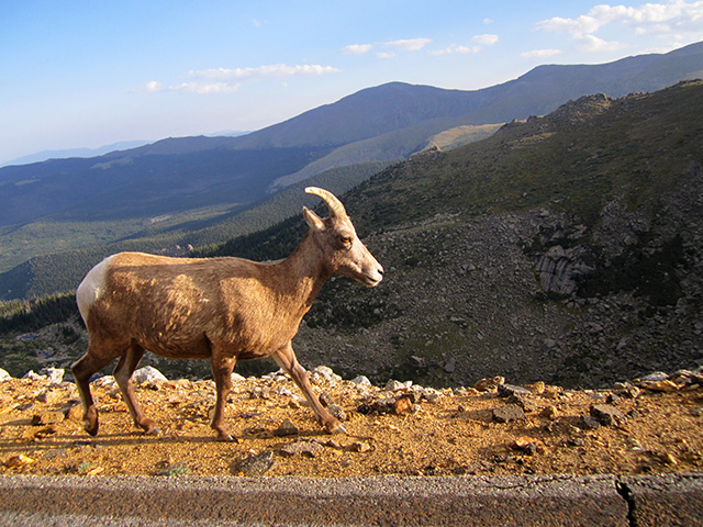 bighorn sheep, Mount Evans, Colorado, 2012