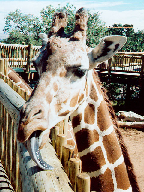 """Giraffe, Cheyenne Mountain Zoo"", Colorado Springs, Colorado, 2005"