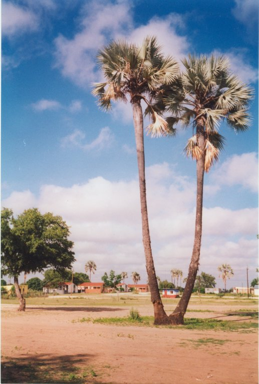 Makalani Palm Tree Ohangwena Namibia 1995 Photos