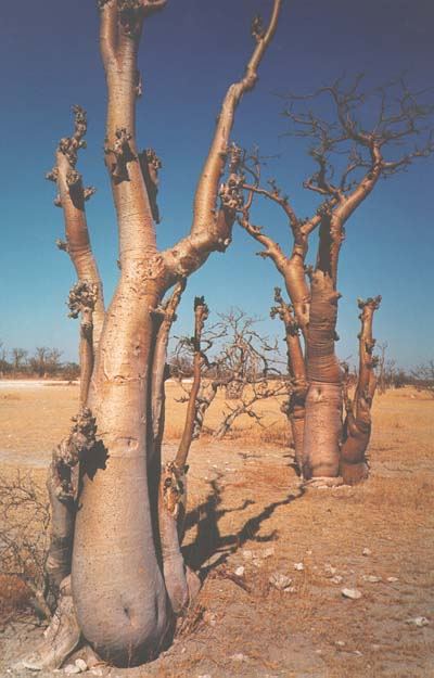 """upside down trees, Etosha National Park"", Okaukuejo, Namibia, 1997"
