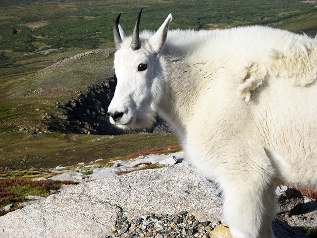 mountain goat, Mount Evans, Colorado, 2012