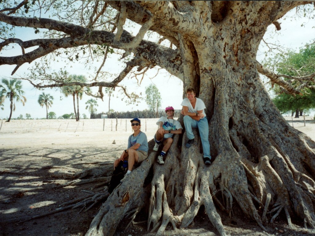 sycamore fig tree, Ondangwa, Namibia, 1995