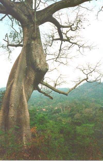 twisted tree, Man, Cote D'Ivoire, 1996