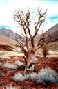 tree and valley, Brandberg, Namibia, 1997