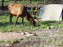 Elk near a tent, Rocky Mountain NP, Colorado, 2011